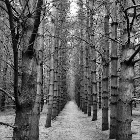 Forest walk among the trees by Jillynn Markle - Black & White Landscapes ( nature, black and white, trees, forest, landscape )