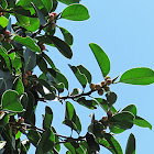 Thick-leaf Fig