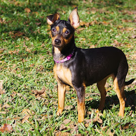 Bunny by Kirk Barnes - Animals - Dogs Portraits ( outdoors, minpin, portrait, dog, pet,  )
