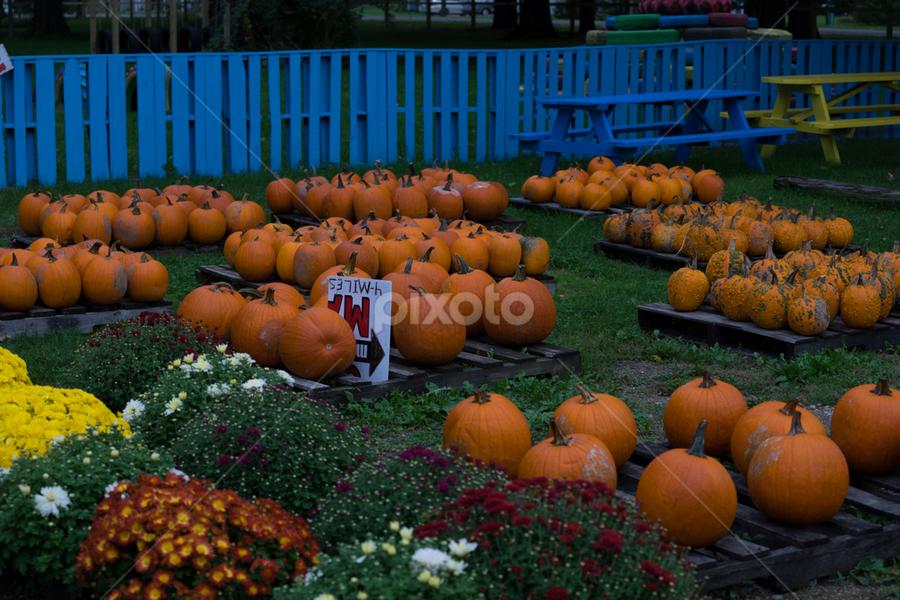 Pumpkins For Sale by Vonelle Swanson - Public Holidays Halloween ( orange, nature, pumpkins, flowers, halloween )