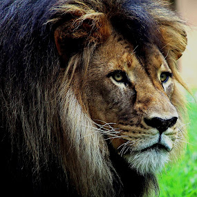 Mujambi  by Deb Thomas - Animals Lions, Tigers & Big Cats ( lion, african lion, male,  )