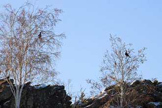 Photo: Black grouse & Хар хур.  Lyrurus tetrix