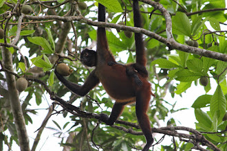 Photo: spider monkey with baby on her back