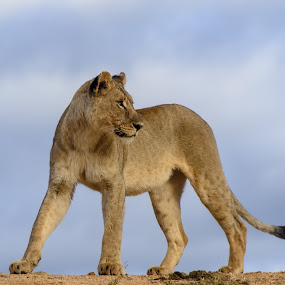 Lioness looking back by Arend Van der Walt - Animals Lions, Tigers & Big Cats ( lion, waiting, south africa, safari, africa, madikwe )