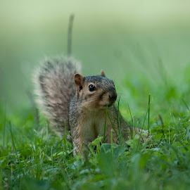 by Anita Frazer - Animals Other Mammals ( squirrel, mammal, animal, eastern gray )