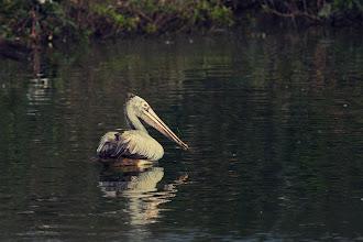 Photo: Pelican Swim