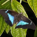 Borboleta Prepona (Blue Shoemaker Butterfly)
