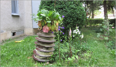 Photo: Bergenia - de pe Str. Aviatorilor, Nr.8, spatiu verde - 2017.06.07