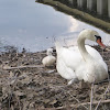 Mother mute swan and her cygnet