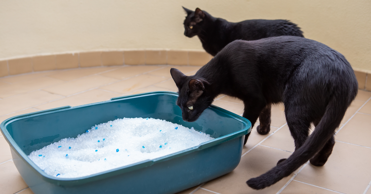 black cats next to litter tray