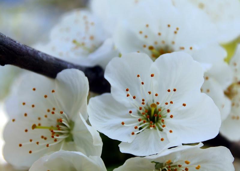 fiori di melo di fremorgan