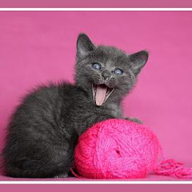 Kitten by Heather Catherine - Animals - Cats Kittens ( pink, kitten, yawn, portrait, funny )