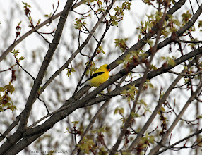 Photo: Chardonneret Jaune (American Goldfinch) mâle Scott 2008