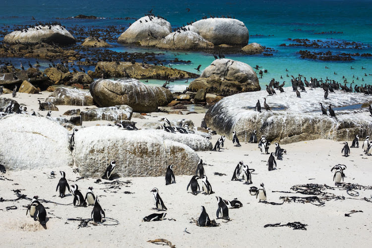 Penguins frolic on Boulders Beach near Simons Town in the Cape.