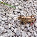 Two-striped Grasshopper (female)