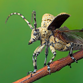 Ready To Take Off by Tan Tc - Animals Insects & Spiders ( macro photography, longhorn beetle, insects, close up, beetle )