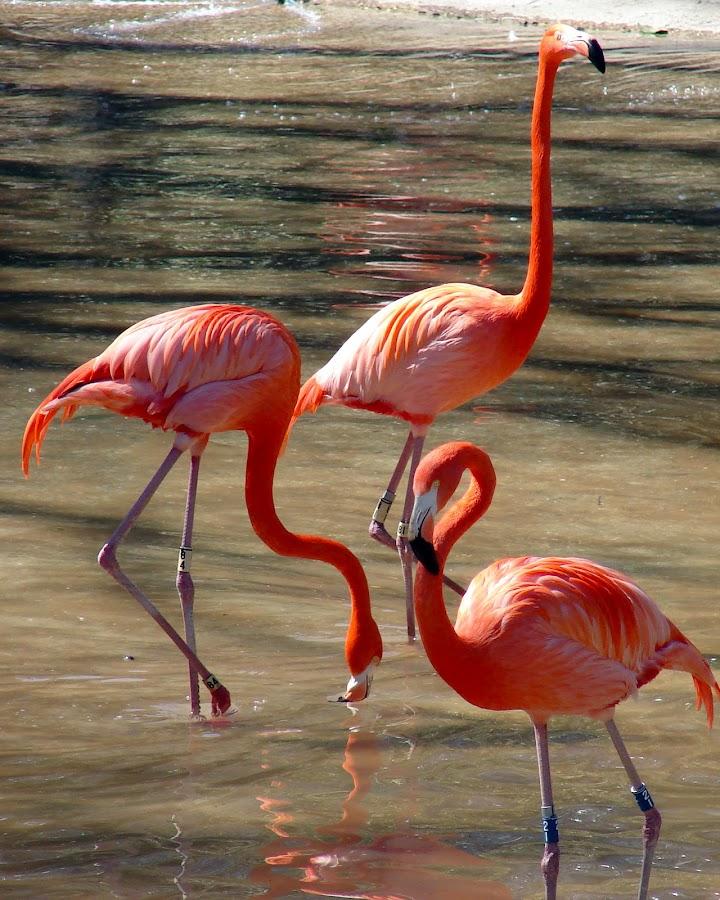 by Jessica Kesterson-Patrick - Animals Birds ( bird, coral, flamingos )