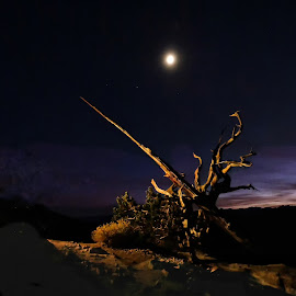 Shadows of Ancient Bristlecone Tree by Norma Brandsberg - Nature Up Close Trees & Bushes (  )