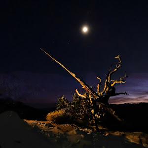 bristlecone-tree-.jpg