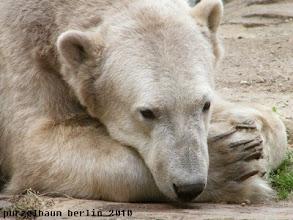 Photo: Ein ganz vertraeumter Knut :-)
