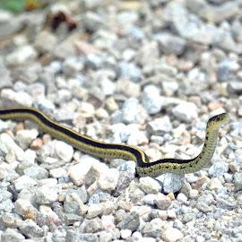 Garter Snake by Jaliya Rasaputra - Animals Reptiles