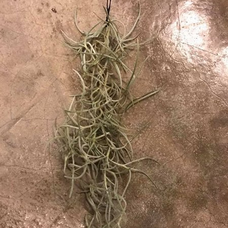 Air Plant - Spanish Moss Thick Leaf - >6inch long