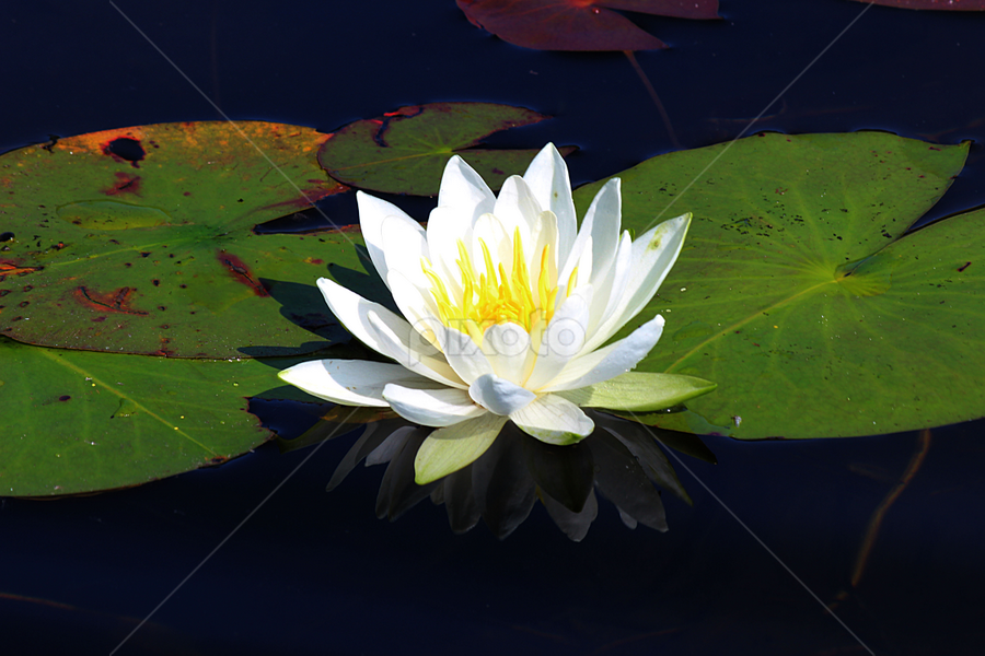 Lilly in its Pad by Scott Block - Flowers Flowers in the Wild ( minnesota, waterlily, lily, lake, lily pad, lily pads, flower,  )