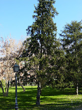 Photo: Picea abies del parque del Oeste (Madrid)