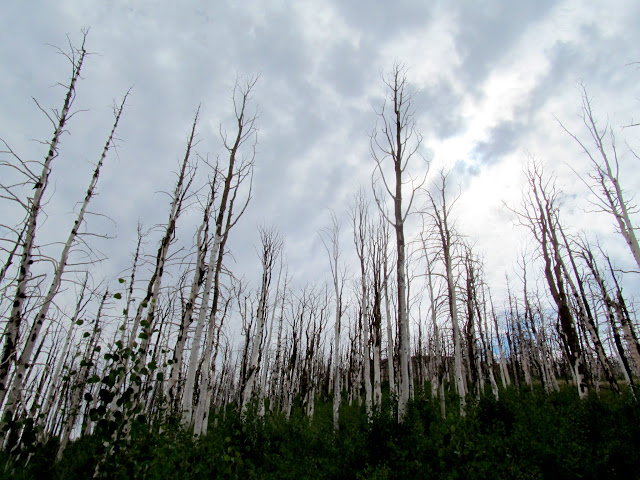 Burned aspen towering over new growth