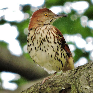 brown thrasher (3).JPG