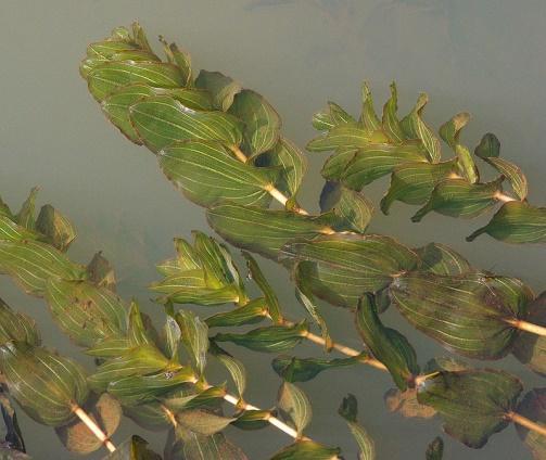https://upload.wikimedia.org/wikipedia/commons/thumb/3/3f/PotamogetonPerfoliatus.jpg/800px-PotamogetonPerfoliatus.jpg