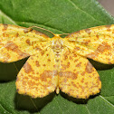 False Crocus Geometer - 6740