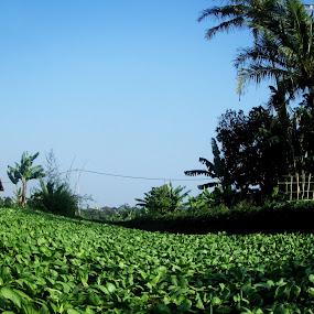 Vegetable garden in the village Cihanjuang - Bandung by Jumari Haryadi - Landscapes Prairies, Meadows & Fields ( field, nature, sayur, vegetable, landscapes )