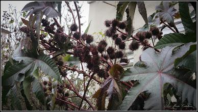 Photo: Ricin (Ricinus communis) - de oe Str. Rapsodiei, bloc, spatiu verde - 2017.11.03