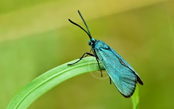 Photo: Adscita statices, Turquoise, Forester Moth  http://lepidoptera-butterflies.blogspot.com/