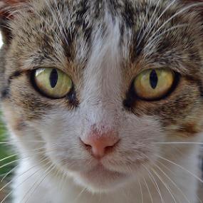 by Branka Radmanić - Animals - Cats Portraits