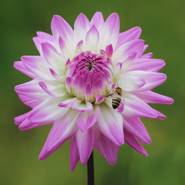 Dahlia with Bee by Jim Downey - Flowers Single Flower ( bee, green, white, purple, petals )