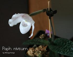 Photo: Paphiopedilum niveum