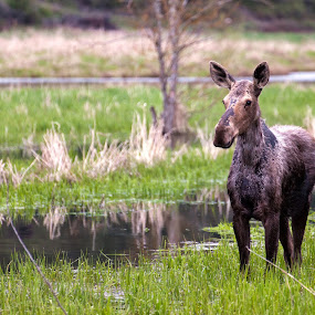Mouse On Lake by Shaun Schlager - Animals Other Mammals ( idaho, alces alces, north america, moose, hauser lake )