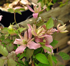 Photo: Clematis montana 'Broughton Star'