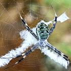 Signature/orb weaver spider