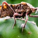 Spartocera Leaf-Footed Bug / Percevejo-Pés-de-Folha-Spartocera