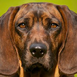 The look by Blaž Ocvirk - Animals - Dogs Portraits ( slovenia, bloodhound, dog, portrait, bavarian )