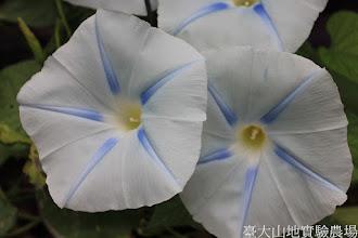 Photo: 拍攝地點: 春陽-可愛植物區 拍攝植物: 朝顏(牽牛花) 拍攝日期: 2015_07_29_FY