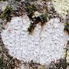 Crustose Whitewash Lichen