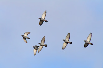Photo: #BirdPoker Wingspans curated by +Phil Armishaw  A loft of Rock Doves were flying in random circles near my home. This is a shot of a few of them. Six of a kind of for my last hand of the night.