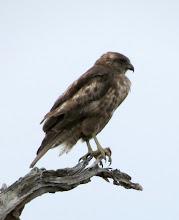 Photo: Hawaiian Hawk, taken from the road between Saddle Road and Hakalau NWR.