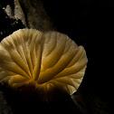 Pollypore Fungi