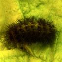 White ermine caterpillar