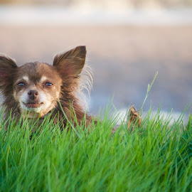 Age Defying by Savannah Eubanks - Animals - Dogs Portraits ( chihuahua, small dog, grass, short, river, brown, portrait, dog )